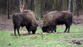 European bisons stock video footage