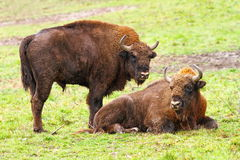 European bisons on green grass Stock Photo