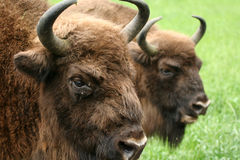 European bisons' heads Royalty Free Stock Photo