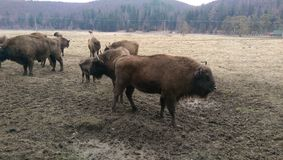 European bisons Royalty Free Stock Photography