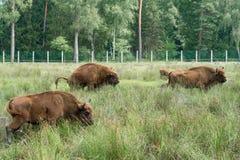 European bisons iBison bonasus n its natural habitat. stock photo