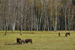 European Bisons in nature Stock Image