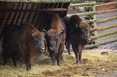 European bisons near fence Royalty Free Stock Photos