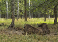 European bisons rest in forest Stock Photo