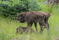 European bisons Royalty Free Stock Photos
