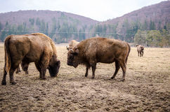 European bisons Stock Images