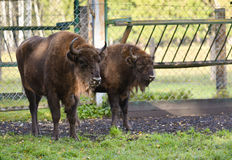 European Bisons (wisent) royalty free stock photo