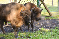 European Bisons (wisent) in a breeding farm Stock Image