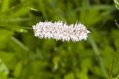 European Bistort or snakeweed, Bistorta officinalis, pink flowers with dark bokeh background, macro, selective focus Royalty Free Stock Photo
