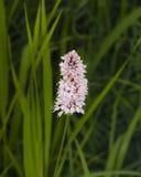 European Bistort or snakeweed, Bistorta officinalis, pink flowers with dark bokeh background, macro, selective focus Royalty Free Stock Photos