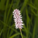 European Bistort or snakeweed, Bistorta officinalis, pink flowers with dark bokeh background, macro, selective focus Stock Photography