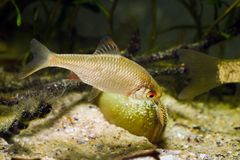 European bitterling, Rhodeus amarus, beautiful ornamental adult male fish show spawning behaviour near a bivalve mollusc. In a coldwater temperate freshwater royalty free stock photo
