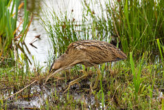 European Bittern Stock Photo