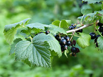 European black currant Stock Photography