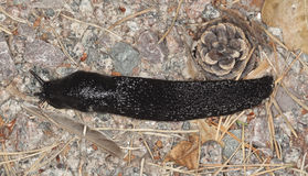 European black slug, arion arter Stock Photography