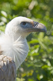 European Black Vulture Royalty Free Stock Photos