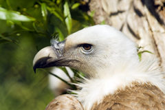 European Black Vulture. Close up of a European Black Vulture (Aegypius monachus Stock Photography