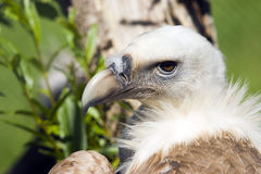 European Black Vulture. Close up of a European Black Vulture (Aegypius monachus Royalty Free Stock Image