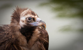 European black vulture. A close-up of a European black vulture Royalty Free Stock Photography