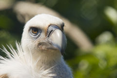 European Black Vulture Stock Image