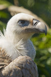 European Black Vulture Stock Images