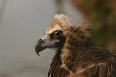European Black Vulture - Aegypius monachus Royalty Free Stock Photos