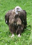 European Black Vulture - Aegypius monachus Stock Photography