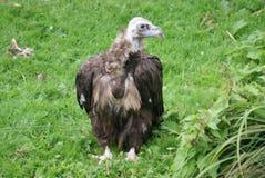 European Black Vulture - Aegypius monachus Stock Image