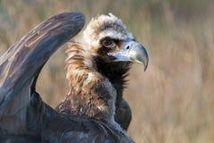 European Black Vulture (Aegypius Monachus) Stock Images