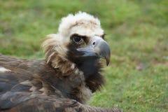 European Black Vulture - Aegypius monachus Stock Photos