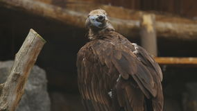 European Black Vulture (Aegypius Monachus) stock footage