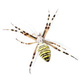 European Black and Yellow Garden Spider isolated on white Stock Images