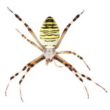 European Black and Yellow Garden Spider isolated on white Stock Photo