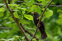 European Blackbird Royalty Free Stock Image