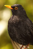 European Blackbird Bold Portrait Royalty Free Stock Photography