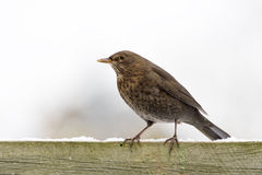 European Blackbird female on a fence Stock Image