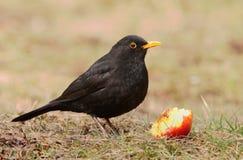 Free European Blackbird Turdus Merula Royalty Free Stock Image - 114341206