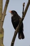 European Blackbird (Turdus merula) Stock Photos