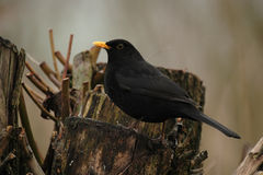 European Blackbird (Turdus merula) Stock Images