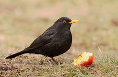 European blackbird Turdus merula. With an apple royalty free stock image