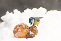 European Blue Tit Pecking Apples in Winter Snow. Landscape View royalty free stock photography