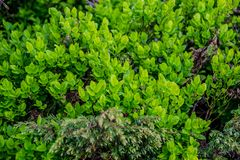 European blueberry green bush. Green bush of european blueberry vaccinium myrtillus / bilberry / wimberry / whortleberry. Clouse-up view of young leaves in june royalty free stock photography
