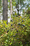 European Blueberry Royalty Free Stock Photography
