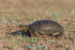 European bog turtle (emys orbicularis) Stock Photos