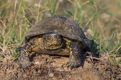 European bog turtle (emys orbicularis) Royalty Free Stock Photography