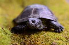 European bog turtle Stock Image