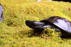 European bog turtle Stock Photo