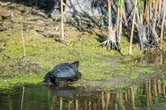 European bog turtle or Emys orbicularis. In wild nature royalty free stock images