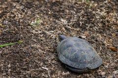 European bog turtle or Emys orbicularis. In wild nature stock photo