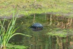 European bog turtle or Emys orbicularis. In wild nature stock image
